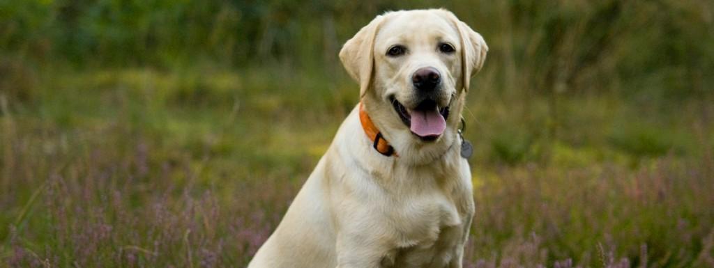 Labrador retriever z hodowli psów rasowych Perfect Breed