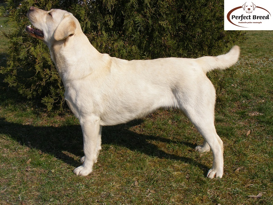 Perfect Breed Lawia z Rancza Corrina