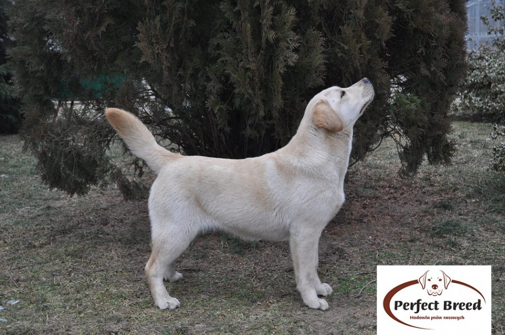 BLUE STAR Perfect Breed
