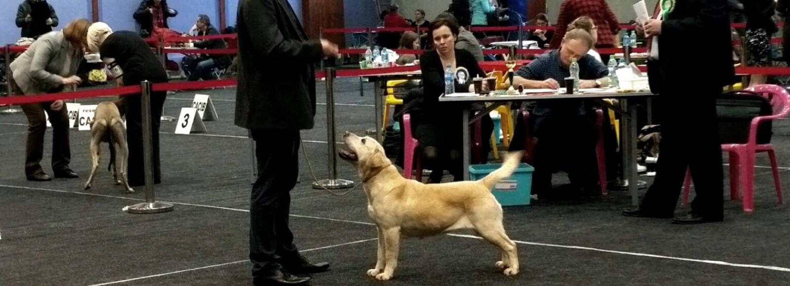 Perfect Breed na wystawie psów rasowych labrador