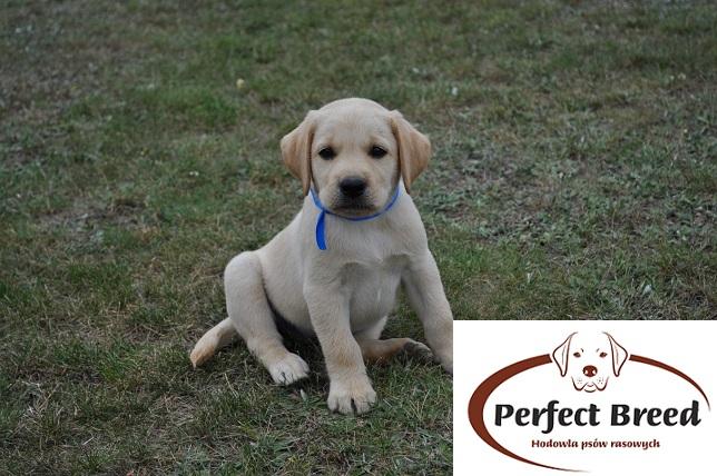 BOSTON Perfect Breed