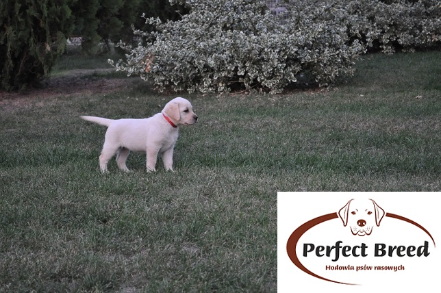FREDY Perfect Breed