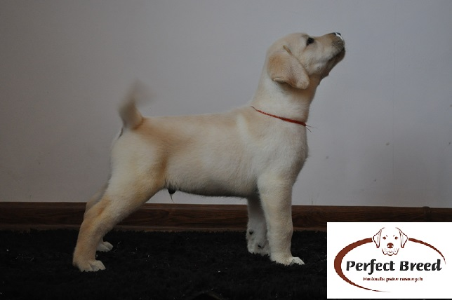 Labrador Retriever TOBAGO Perfect Breed