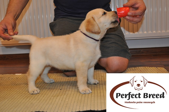 Labrador Retriever TAYLA Perfect Breed