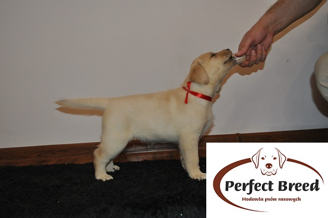 Labrador Retriever Trixi Perfect Breed
