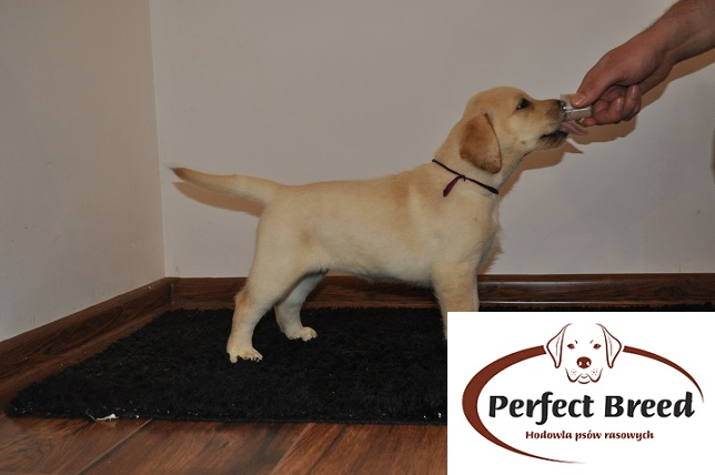 Labrador Retriever Tara Perfect Breed