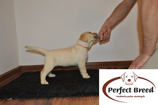 Labrador Retriever Trinity Perfect Breed