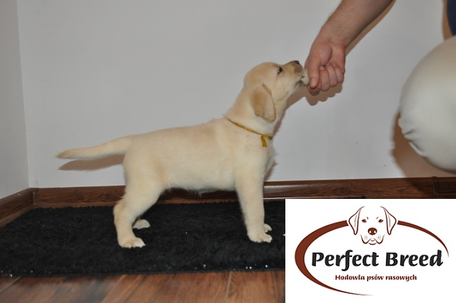 Labrador Retriever Tiffany Perfect Breed