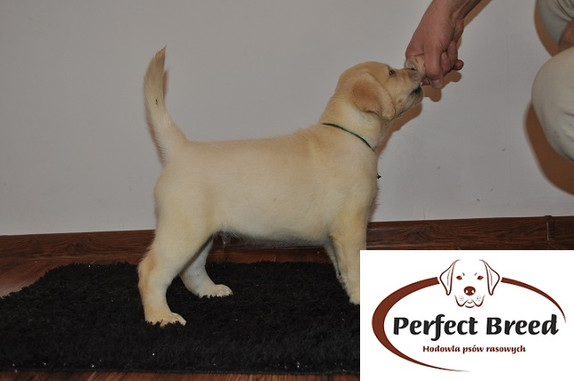 Labrador Retriever Tibon Perfect Breed