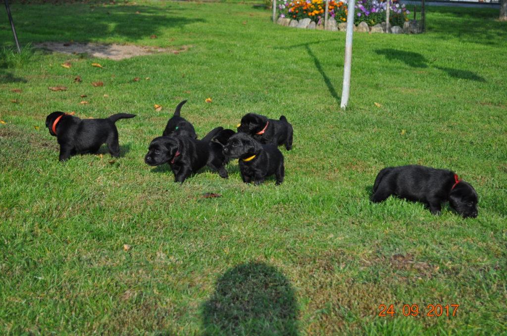 Miot C labrador Retriever Perfect Breed